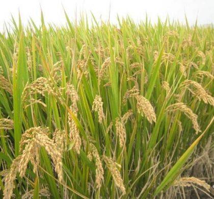 中国科学家发现水稻高产关键基因
