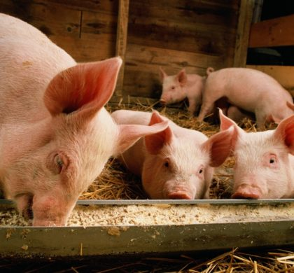 中国猪价提前进入上行周期