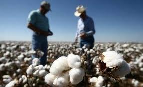 通讯:焦虑中的美国棉农迎来希望