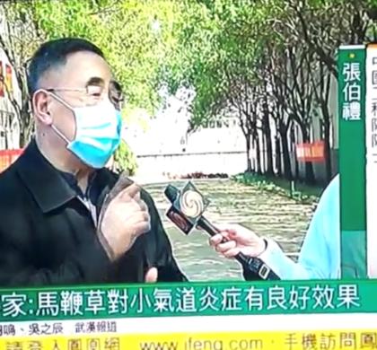 """美华中医所献秘方""""马鞭草""""被中国官方证为新冠肺炎良药"""
