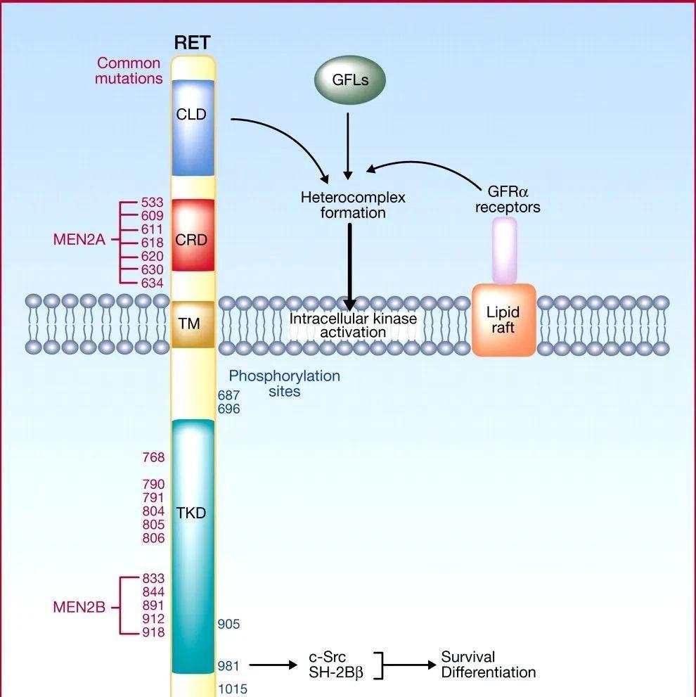 首个RET抑制剂获FDA批准,晚期肺癌和甲状腺癌效果显著