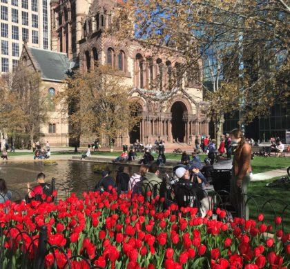 五月,郁金香在波士顿城市中绽放