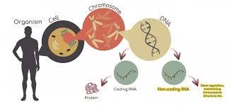 香港大学发现细胞分裂新机制 或有助诊断癌症
